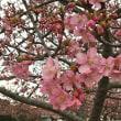 3月16日  河津桜