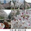 桜花爛漫(皇居乾通りの桜)