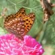 信州塩田平・・・農家の庭の花畑・・・百日草にウラギンヒョウモンが飛ぶ
