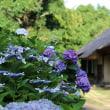 府中市郷土の森博物館 アジサイの花やスイレンの花見頃でした!