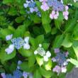 <ガーデニング>紫陽花いろいろ♪