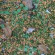 キンモクセイの絨毯