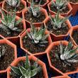 多肉植物の中で人気度の高い十二の巻6鉢セットを使って寄せ植え/ハンギング/リース作り