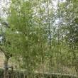 竹天日干し