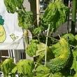 緑のカーテン成長記録(続編)