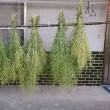 菜の花の種採取