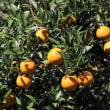 タンカン(桶柑、短柑、学名:Citrus tankan)ミカン科