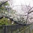2018石神井川の桜4