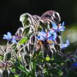 Vol.2053  ハーブの仲間のボリジがもう咲いていました。  (Photo No.14295)