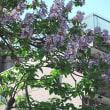 葛西親水 四季の道の「桐」