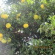 柚子・・・秋の深まり