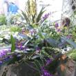 イタリアンレッドポインセチア、実が山ほど温州蜜柑、ハーデンベルギア、オンシジウム、新色丈夫オブコニカ、千両、バコバ入荷❗花咲くチランジアも✨