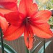 アマリリス 咲きました