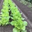 【こだわりの苗】で育てる【こだわりの野菜】で健康管理と…まさに菜園療法❣️