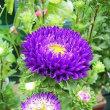 季節の花「アスター」