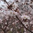 錦大沼公園「桜の情報」・・・