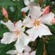 根津散歩の花