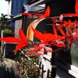赤旗号外配布とご近所の花たち