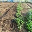 今の課題は、かぼちゃさばきとイチゴ育苗
