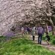 🌸桜🌸 花見 長津川
