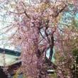 まだ桜がきれい~