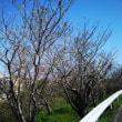 西川桜並木の桜の開花始まる