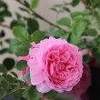 花咲きファーム バラ園
