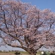 ★「黎子(れいこ)の桜」満開!