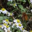 一層攻撃的になって来たキイロスズメバチ
