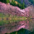 中綱湖の桜2018