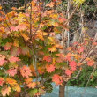 トウカエデ「メイプルレインボー 花散里」の紅葉、「藤九郎」イチョウの黄葉がはじまりました/乾燥生姜づくり2日目。