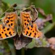 新潟の野蝶 キタテハ