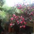 庭の山茶花が満開です  年中行事です