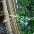 家庭菜園・・・きゅうりは思考力がある?