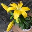 父の日に寄せて、黄色い百合が咲きました 🌿 2018年6月19日