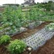 野菜畑、バテ気味かも
