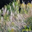 チヂミザサ、シュロの実、他野草