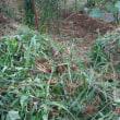 ムカゴがもう・・・  収穫キュウリ・オクラ  草抜き