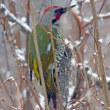 新平湯温泉で出会った啄木鳥! アオゲラ(緑啄木鳥)とアカゲラ(赤啄木鳥)