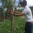 紅玉りんご、間もなく収穫へ