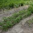 今日のインカのめざめの収穫量についてのデータです