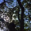 板根のあるスダジイの巨木