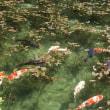 美しい池 モネの池(^O^)