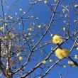 よく晴れた1月の蝋梅