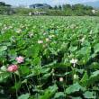高田公園、蓮の花