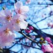 米子市本の学校の桜が咲いた