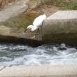 コサギの連続捕獲