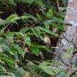 野鳥観察 ルリビタキ雌