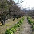 今年一発目の「神崎梅園」