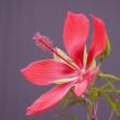 ダリアともみじ葵の花